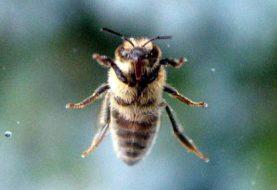 Ką daryti įgėlus bitei ?