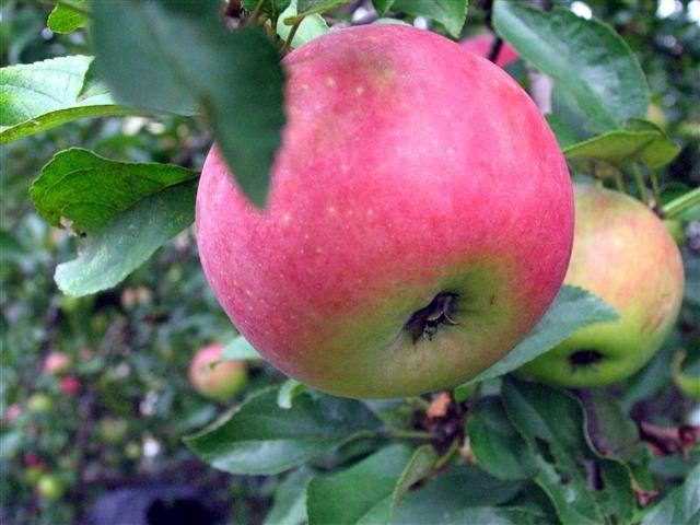 Obuoliai daro stebuklus