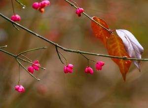 Euonymus Europaeus In Autumn