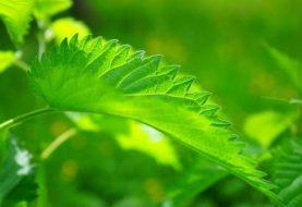 Mokslininkė paaiškino, kuo sveikatai naudingos piktžolės