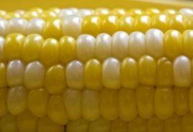 Tyrimas atskleidė, kad genetiškai modifikuoti kukurūzai - siaubingas nuodas