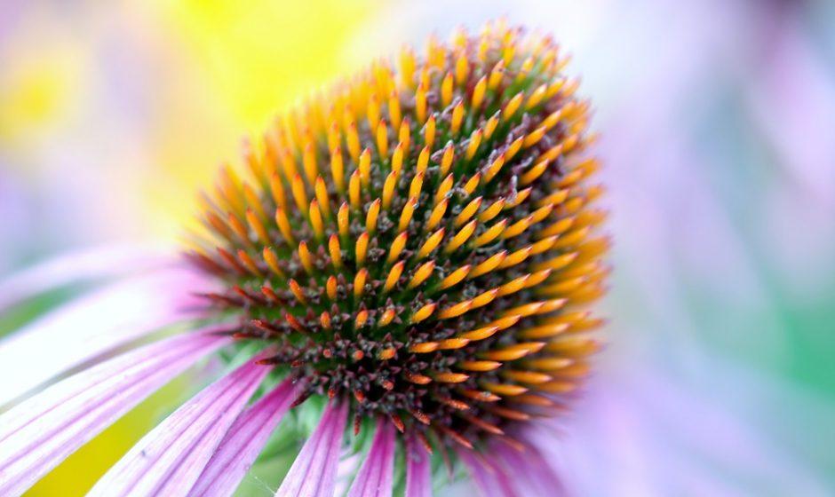 Stipriname imunitetą: 5 efektyviausios vaistažolės