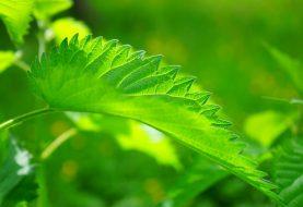 Dilgėlė tapo lietuviškiausiu vaistinės renkamu vaistiniu augalu