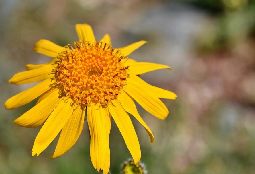 Vasaros džiaugsmus lydi nubrozdinimai ir įkandimai – efektyviai padėti gali geltonžiedžiai augalai